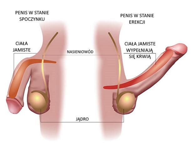 erekcja z chorobą prostaty co to jest słaba erekcja mężczyzn